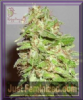 Dr Krippling Auto Dizzy Lights Fem 10 Weed Seeds